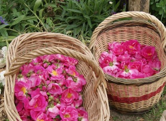 roses-Provins-loches-valdeloire