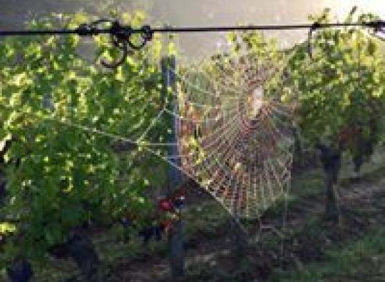 vigne et toile d'araignée