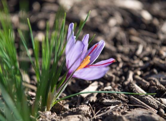 Safran-fleur-terroir-visite-cynfael-st-sauveur
