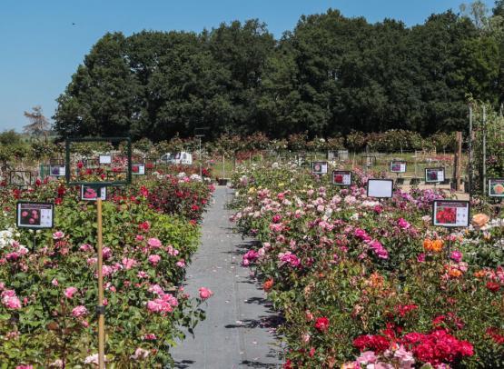 Route de la Rose - Roses anciennes Andre Eve - Crédit photo = IOAproduction - Sébastien Richard (110)