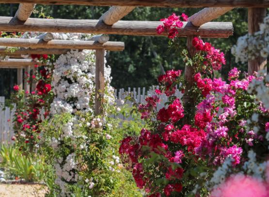 Route de la Rose - Roses anciennes Andre Eve - Crédit photo = IOAproduction - Sébastien Richard (33)