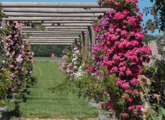 Route de la Rose - Roses anciennes Andre Eve - Crédit photo = IOAproduction - Sébastien Richard (48)