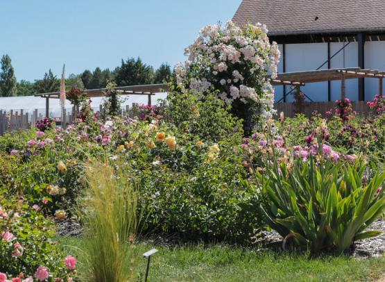 Route de la Rose - Roses anciennes Andre Eve - Crédit photo = IOAproduction - Sébastien Richard (7)